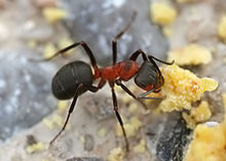 Field Ant Pest Elimination Richmond VA
