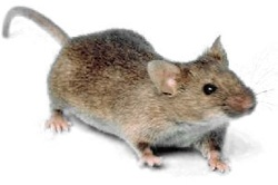 Mice Pest Elimination Richmond VA