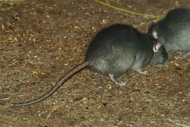 Rat Pest Elimination Richmond VA
