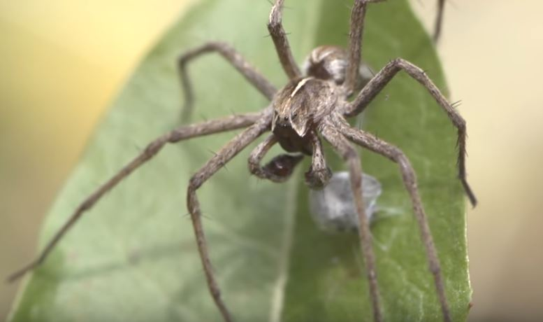 Nursery Web Spider RVA Pest Elimination Richmond, VA