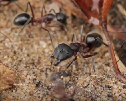Argentine Ant Pest Elimination Richmond VA