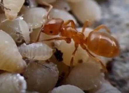 Thief Ant Pest Elimination Richmond VA